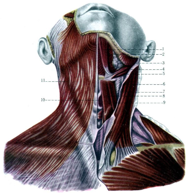 Поверхностные мышцы шеи